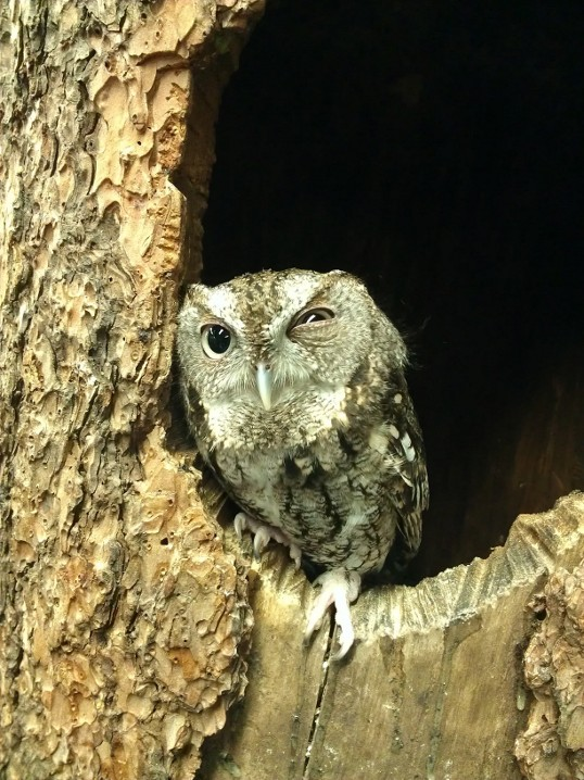 Owl Squinting Extra